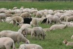 Die Frage: Wie schwarz <br/>ist welches Schaf ?